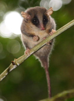 new pygmy possum