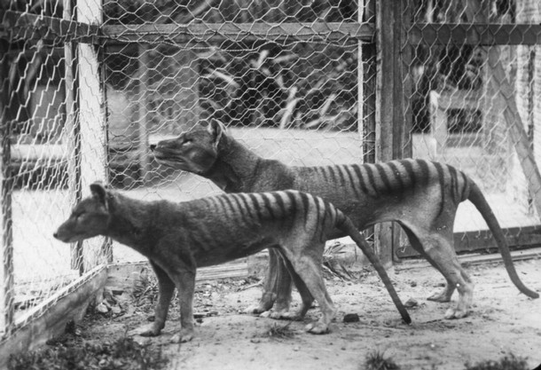 The last Tasmanian Tigers in captivity.