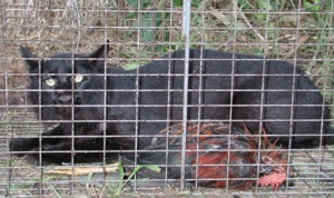 Melanistic Bobcat Caught