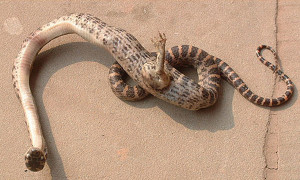 footed_snake