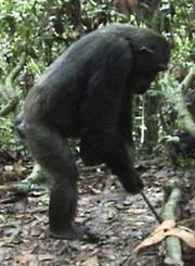 Chimp With Stick