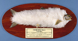 Fur-Bearing Trout