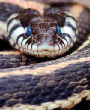 Cryptomundo 187 Media Watch Blue Eyed Snakes And Old Blobs