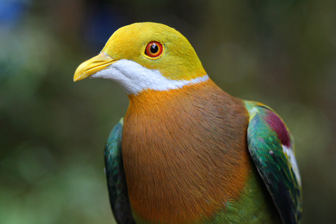 foja fruit-dove