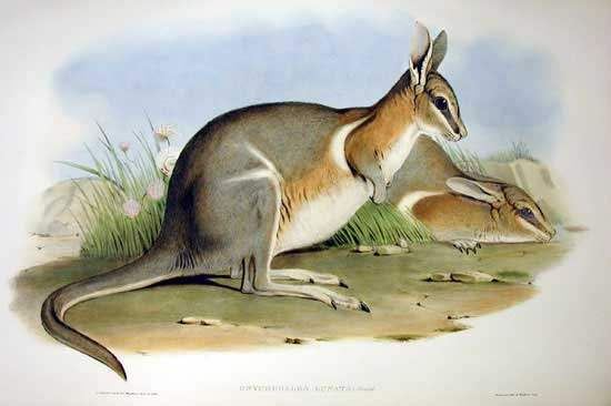 British Wallaby