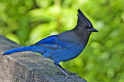 250px-stellers_jay_-_natures_pics.jpg