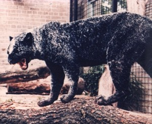 Cobweb panther of Glasgow Zoo 1, Graham Law
