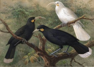 Huias, including an albinistic female, Johannes G Keulemans, c1900
