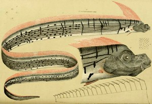 Oarfish-public-domain