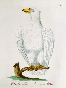 White eagle Aquila alba, 1790 painting
