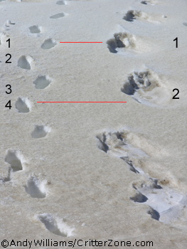 Rocky Mountain Bigfoot Tracks