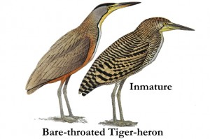 bare_throated_tiger_heron