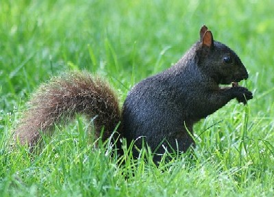 blacksquirrel thumbnail