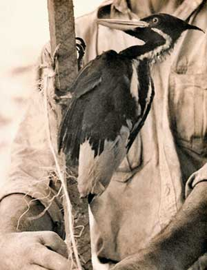 captive Ivory-billed Woodpecker