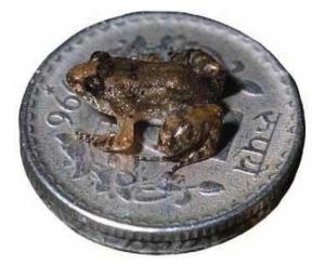 New Small Frog