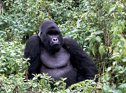 mountain-gorilla.jpg