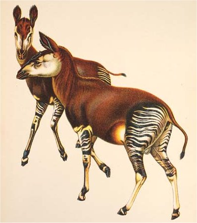 First Okapis
