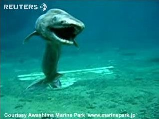 Japanese frilled shark