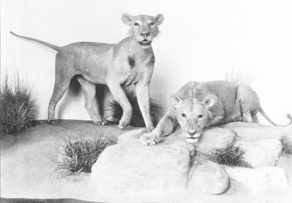 Tsavo Maneaters